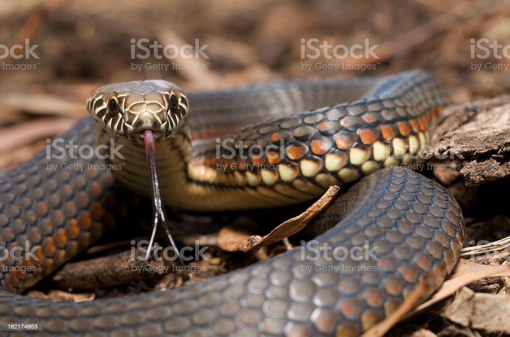 Copperhead snake stock photo