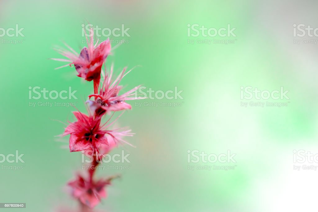 copperleaf emilia sonchifolia flower on background stock photo