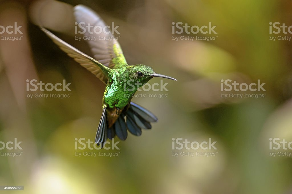 Copper-rumped Blue Tail Hummingbird stock photo