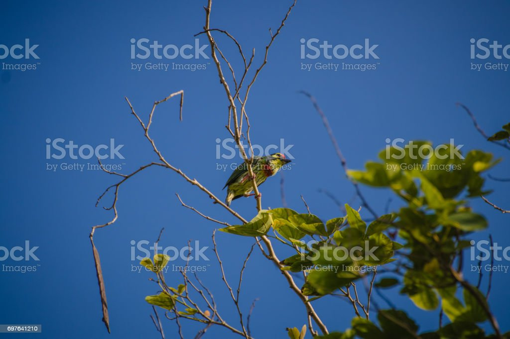 Coppersmith barbet(Megalaima haemacephala) in the real nature stock photo