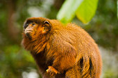 Coppery Titi monkey