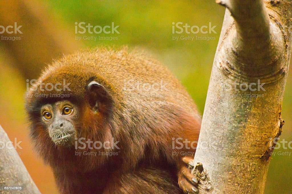 Coppery Titi monkey stock photo