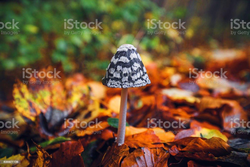 Coprinopsis picacea mushroom in the autumn stock photo
