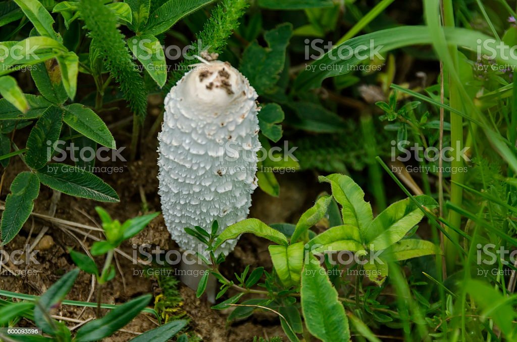 Coprinus comatus edible mushroom in Vitosha mountain stock photo