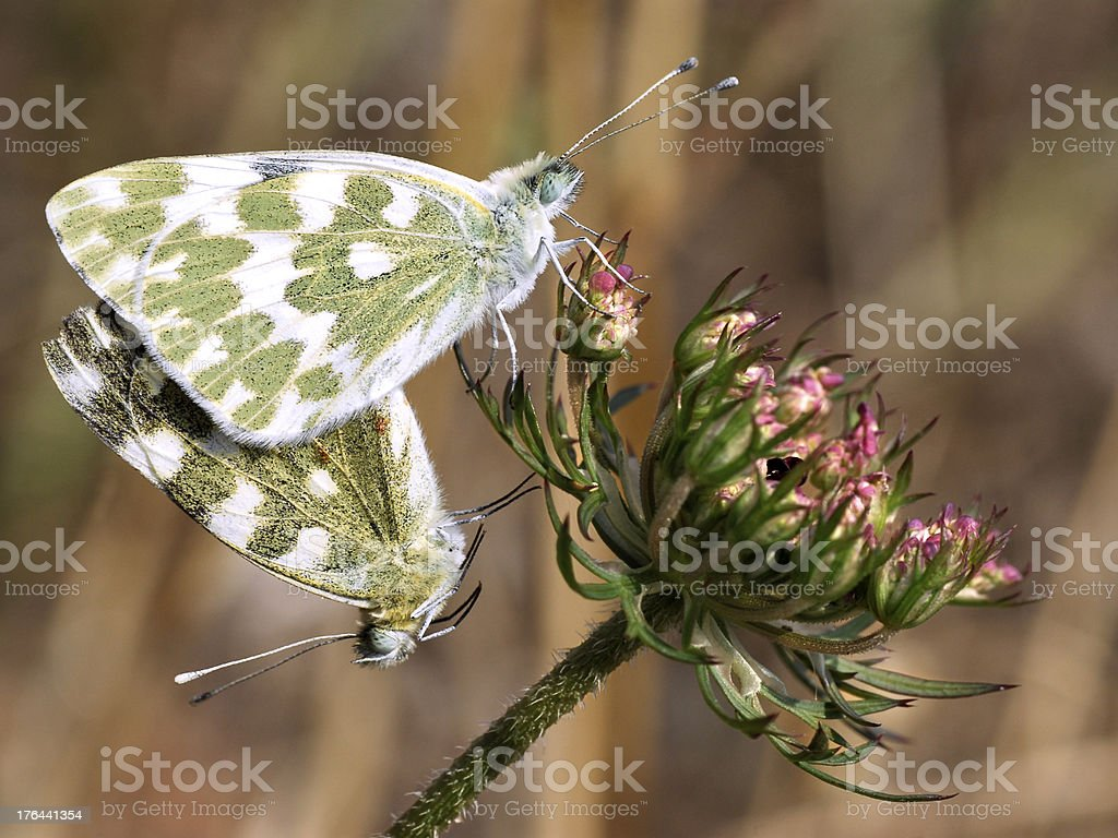 Copulating butterflies on flowers royalty-free stock photo