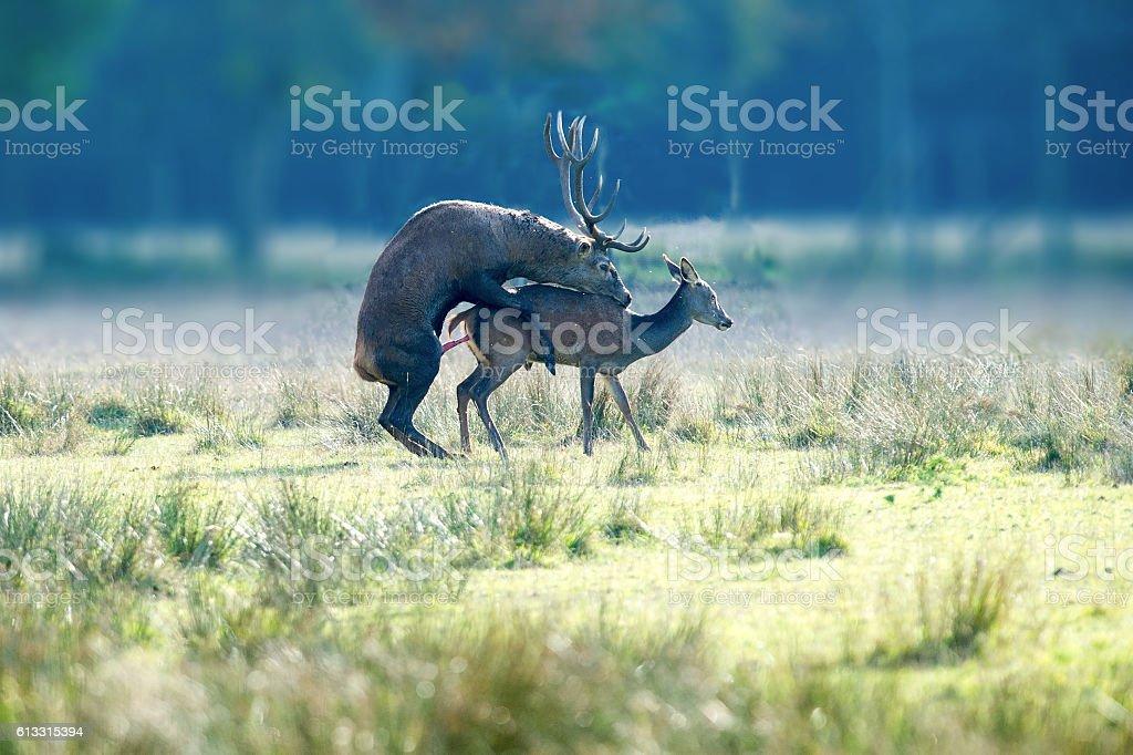Copulating deers stock photo