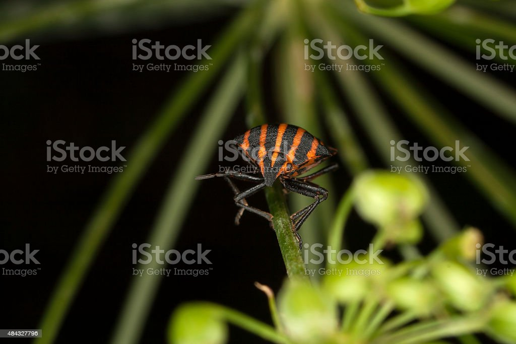 Copulating Italian Striped-Bugs or Minstrel Bugs stock photo