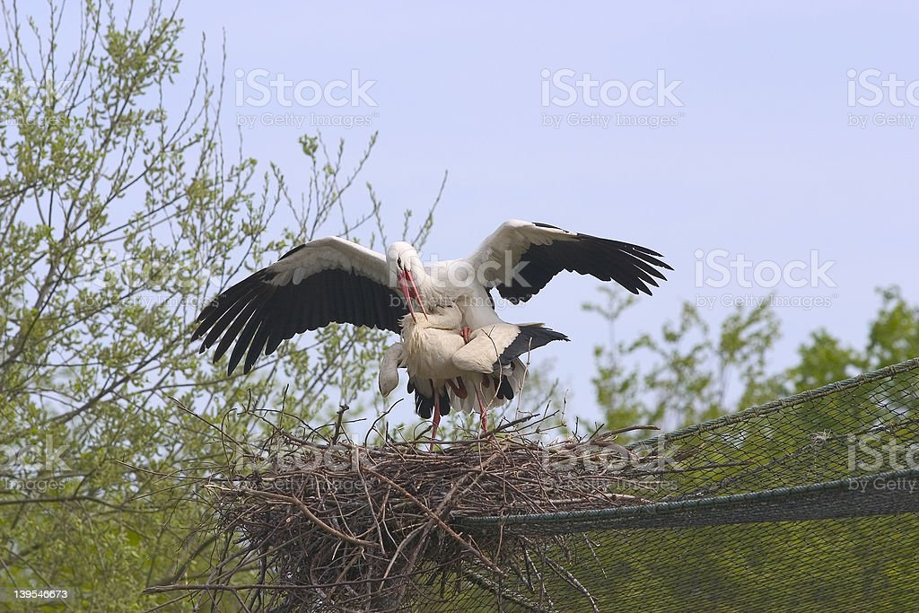 Copulating storks on nest. royalty-free stock photo