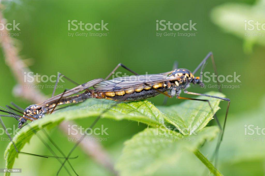 Copulation of beetles closeup stock photo