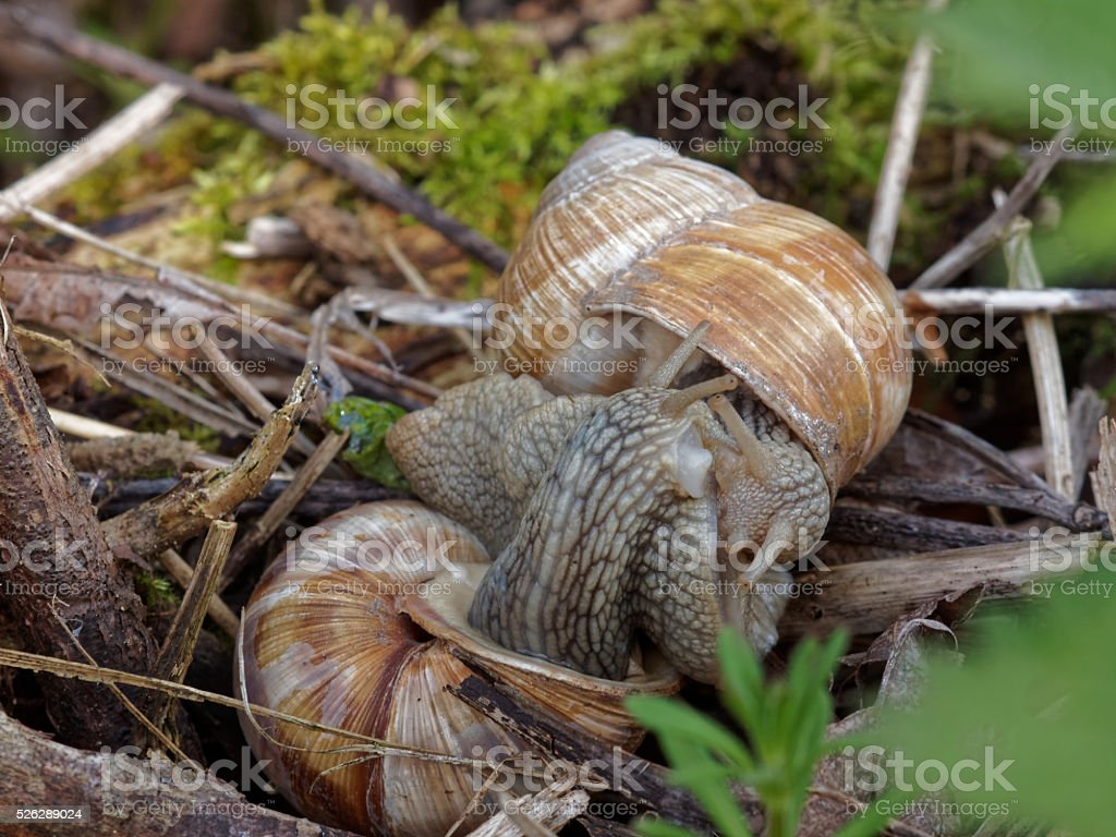 copulation of snails stock photo