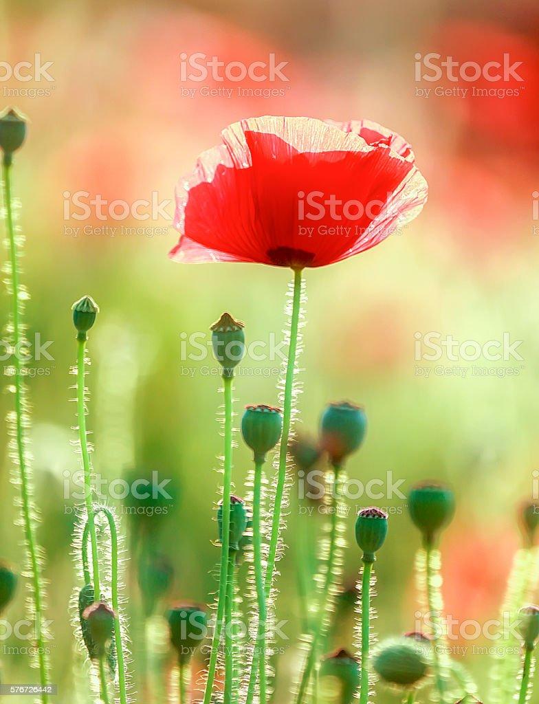 Coquelicot in garden flowers stock photo