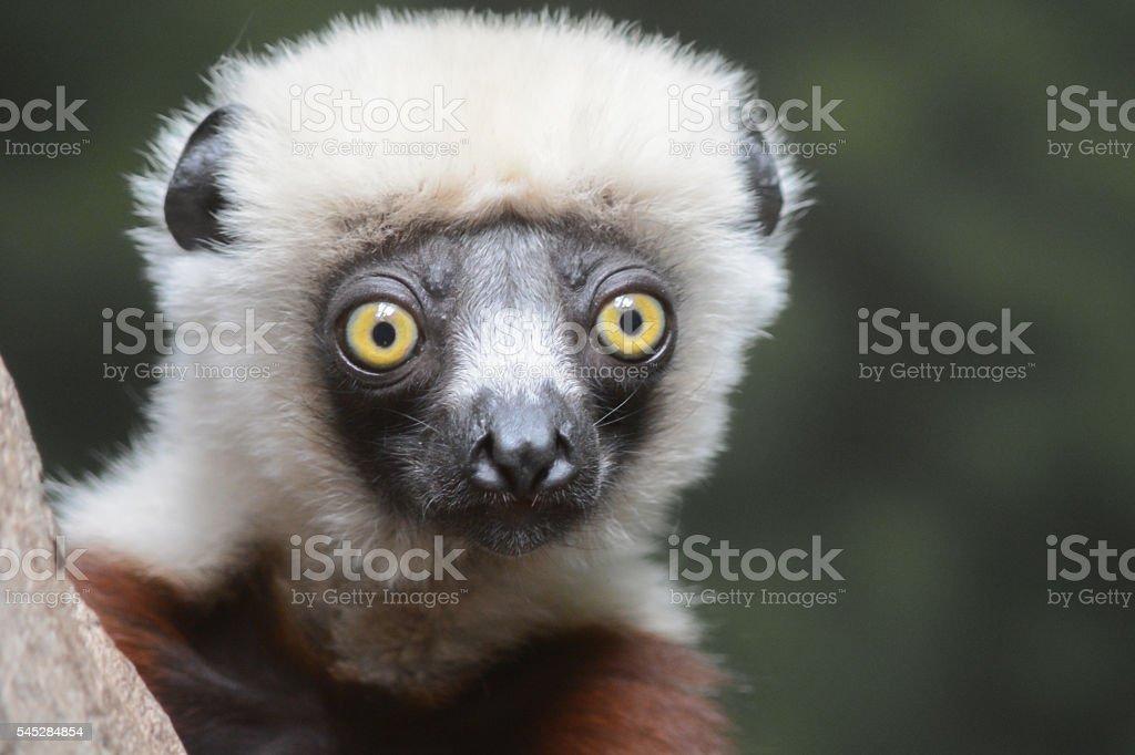 Coquerel's Sifaka Lemur Close-up stock photo
