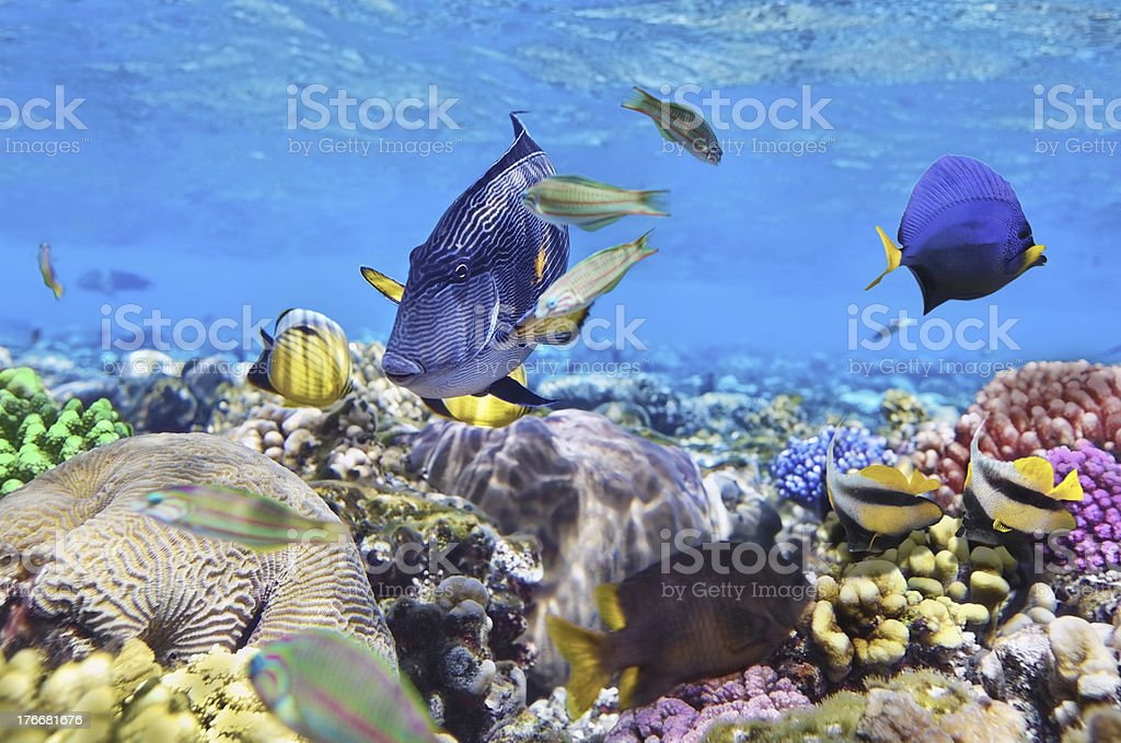 Coral and fish in the Red Sea. Egypt, Africa. royalty-free stock photo