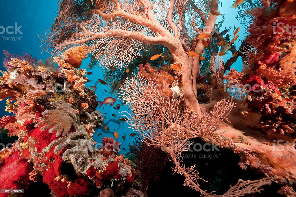 Coral and fish in the Red Sea royalty-free stock photo