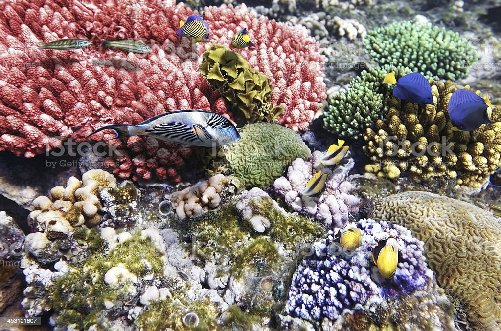 Coral and fish in the Red Sea.Fish couples.Egypt royalty-free stock photo