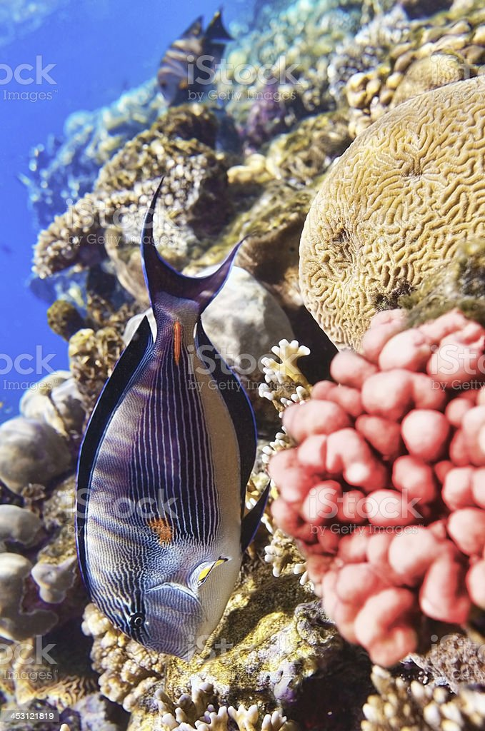 Coral and fish in the Red Sea.Fish-surgeon. royalty-free stock photo