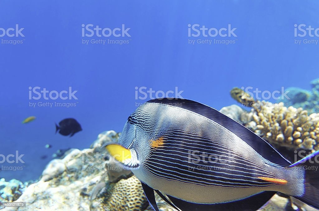 Coral and fish in the Red Sea.Fish-surgeon.Egypt royalty-free stock photo