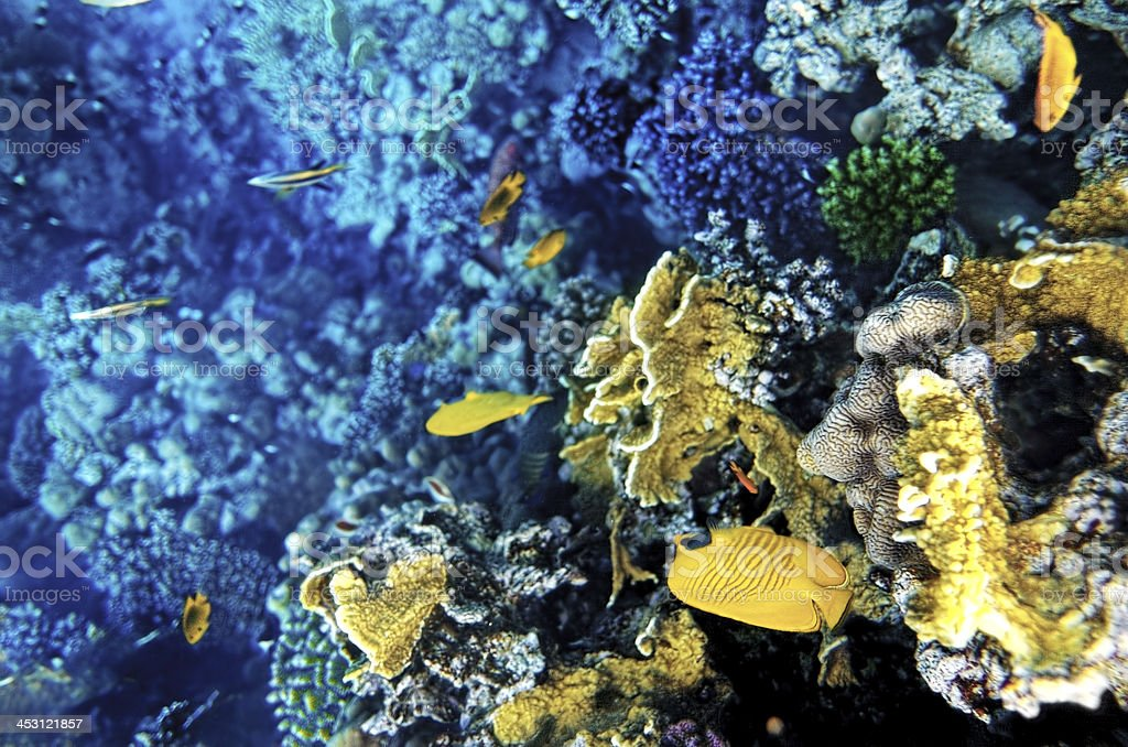 Coral and fish in the Red Sea.Masked butterfly.Egypt royalty-free stock photo