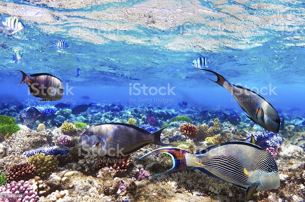 Coral and Fish-surgeon  in the Red Sea. Egypt, Africa . royalty-free stock photo
