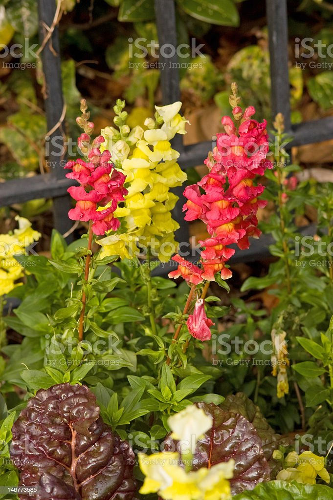 Coral and Yellow Snapdragons royalty-free stock photo