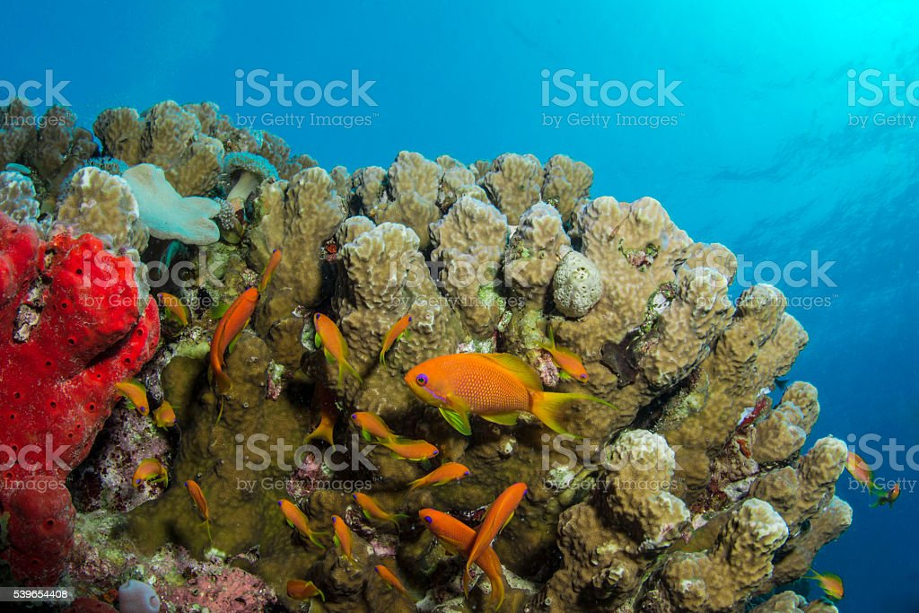 Coral & Anthias stock photo