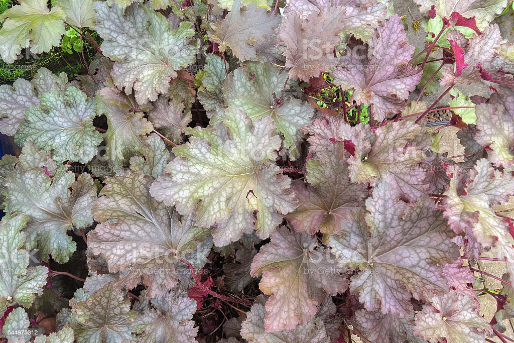 Coral Bells Foliage Closeup Background stock photo