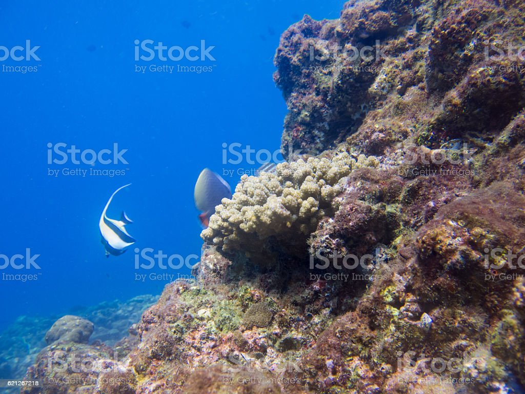 Coral (phylum Cnidaria) Bleaching Global Warming Climate Change stock photo