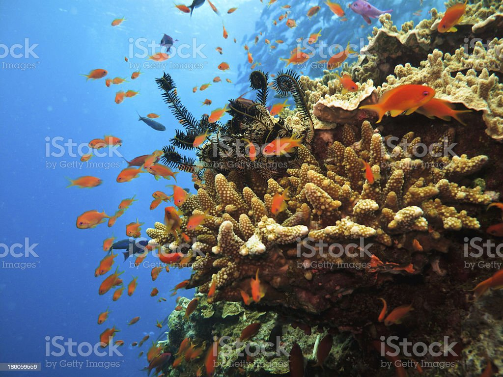 Coral colony and soldier fish on Great Barrier Reef Australia stock photo