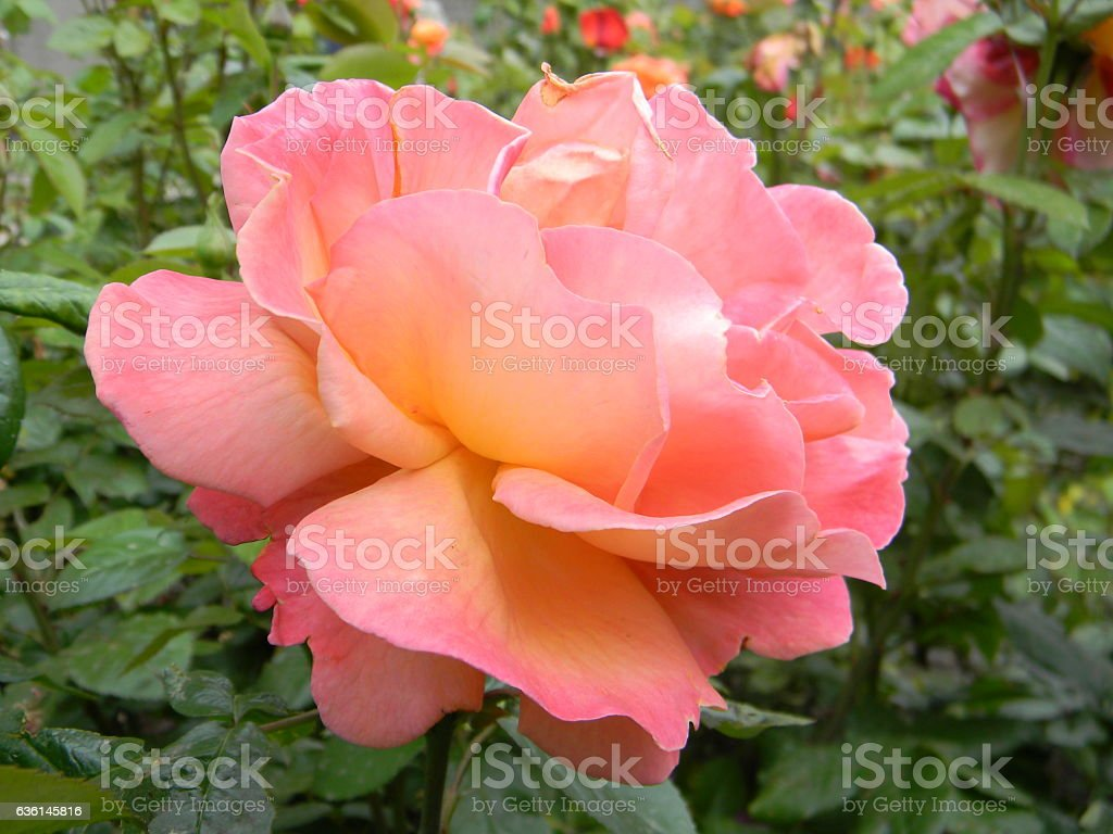 Coral Colored Rose stock photo