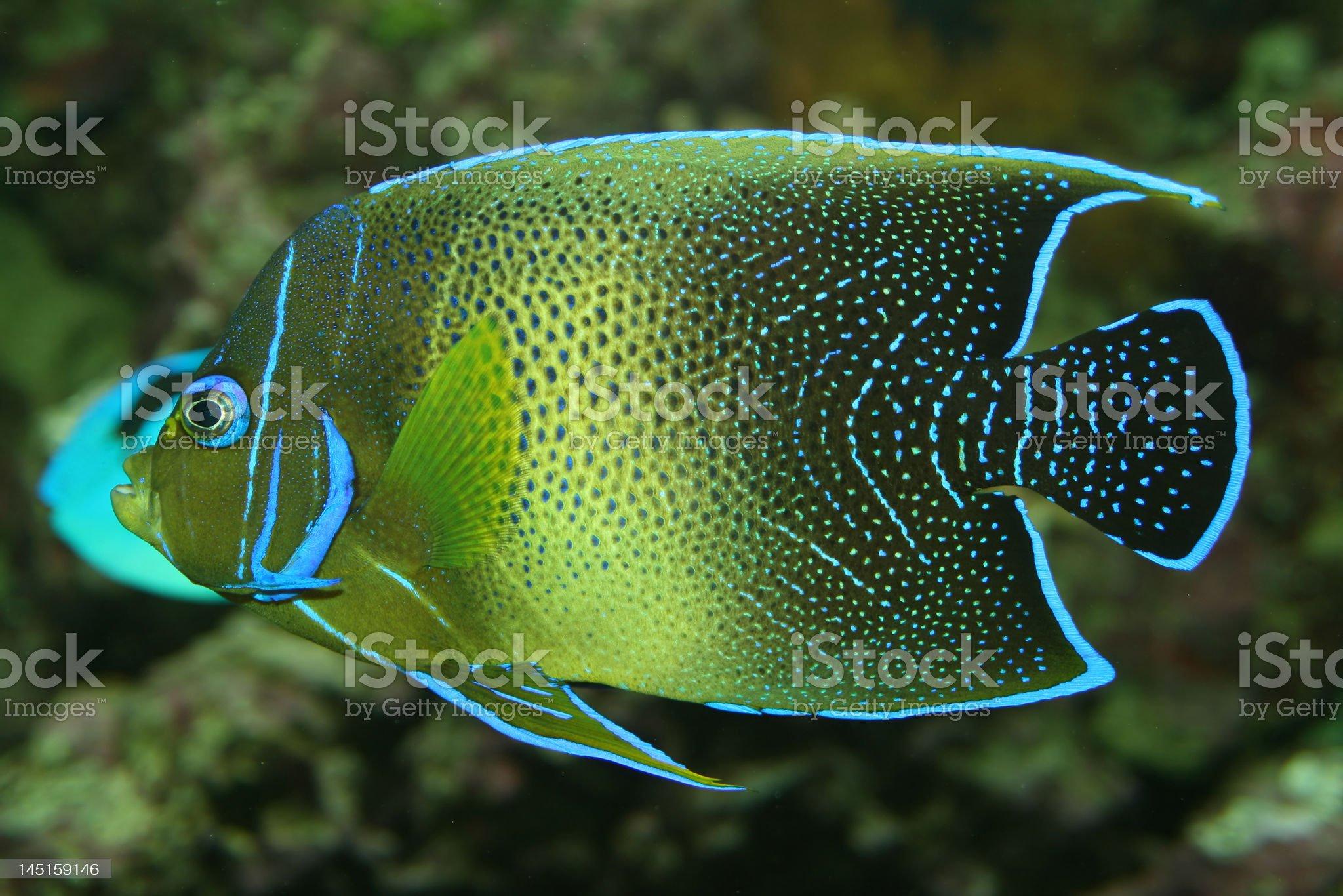 Coral fish royalty-free stock photo