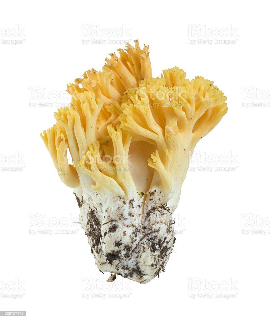 Coral fungi, Ramaria flavobrunnescens isolated on white background stock photo