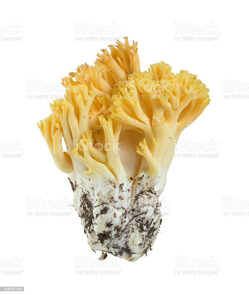 Coral fungi, Ramaria flavobrunnescens isolated on white background stock photo