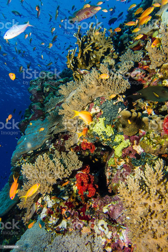 Coral garden in the red sea stock photo
