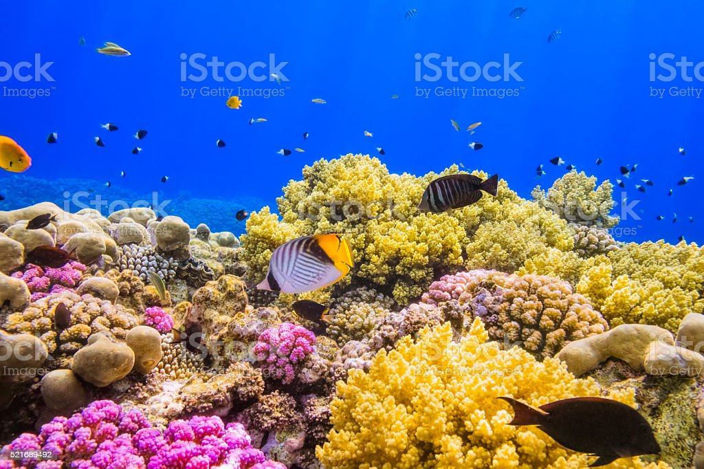 Coral Garden Reef on Red Sea near by Marsa Alam stock photo