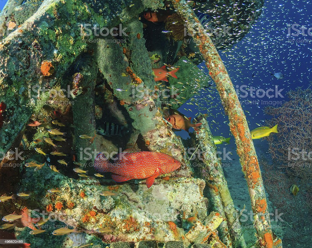Coral Grouper and glassfish around underwater metal debris stock photo