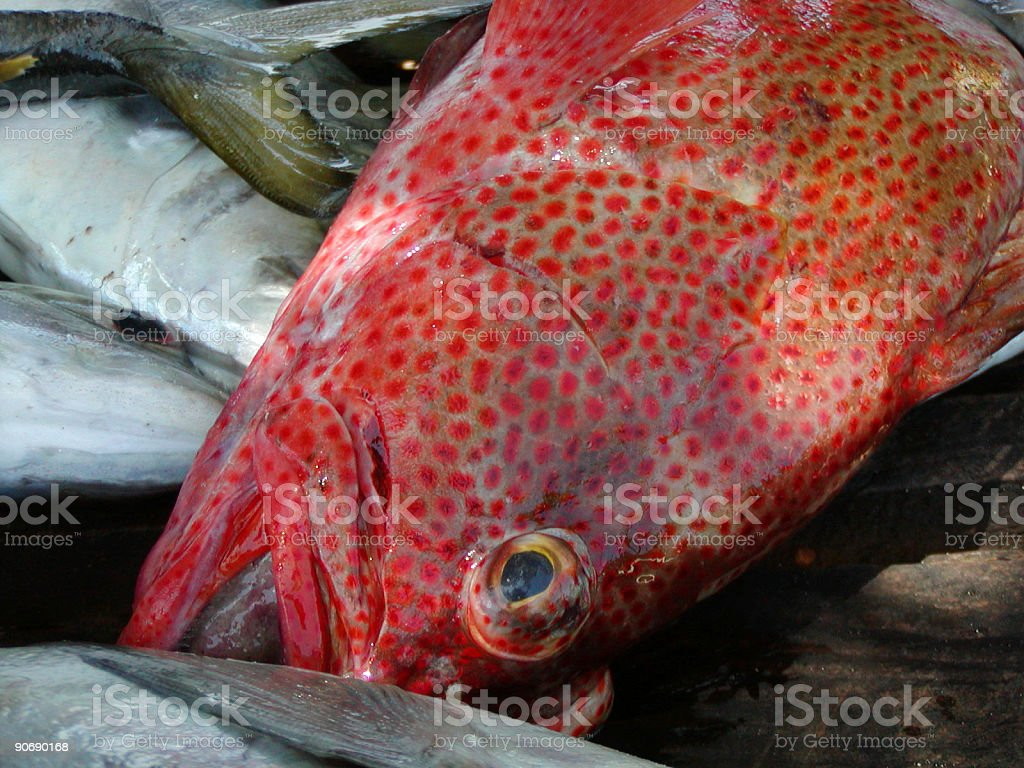 Coral grouper - close up royalty-free stock photo