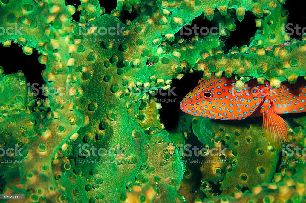 Coral Grouper in Black Sun Coral stock photo