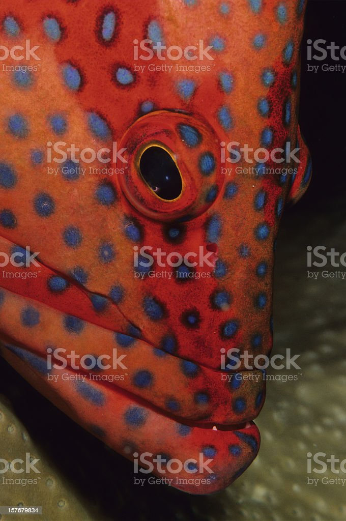 Coral Grouper stock photo