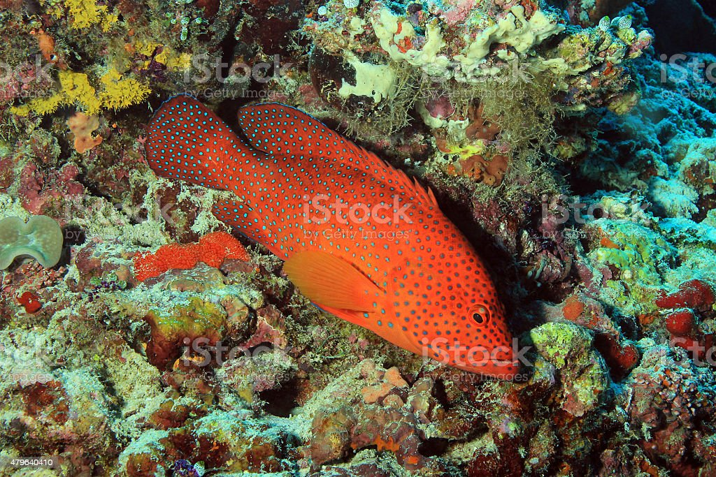 Coral Grouper stock photo