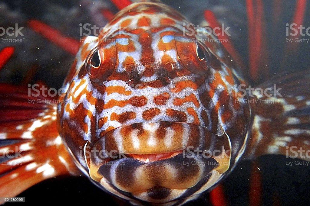 Coral Hawkfish (Cirrhitichthys Oxycephalus) Maui stock photo