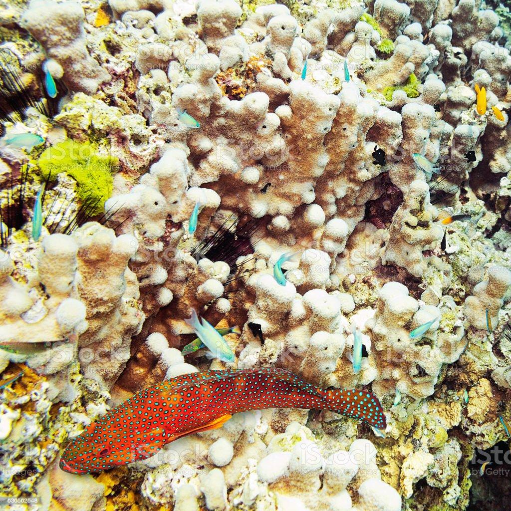 Coral Hind, Similan Islands coral reef, Phuket, Thailand stock photo