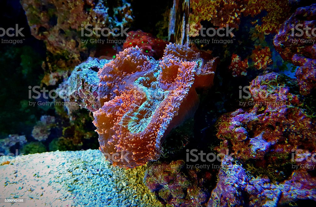 coral in marine tank stock photo