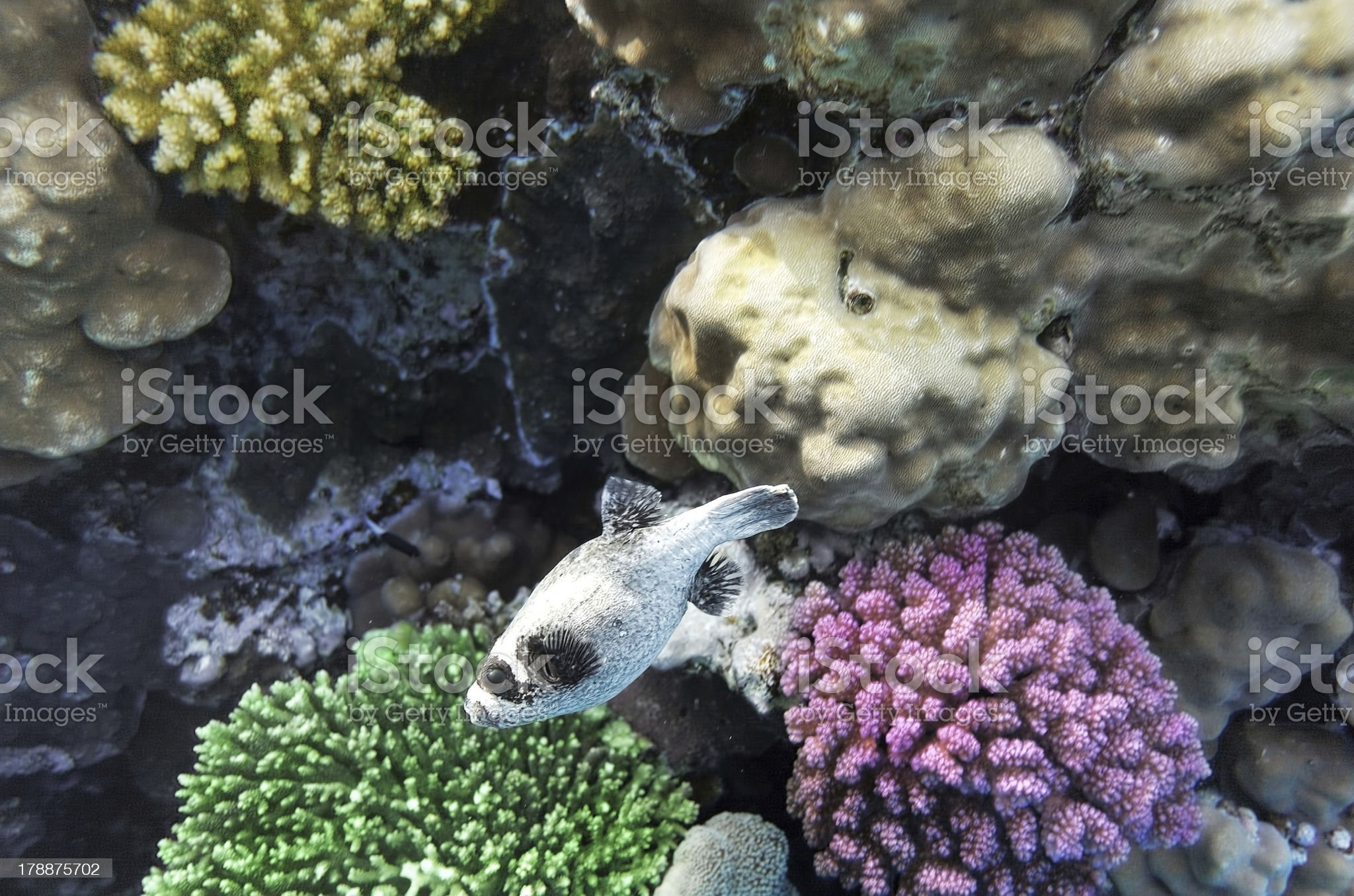 Coral  in the Red Sea.Masked Puffer.Egypt royalty-free stock photo
