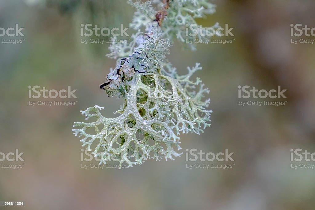 Coral like lichen stock photo