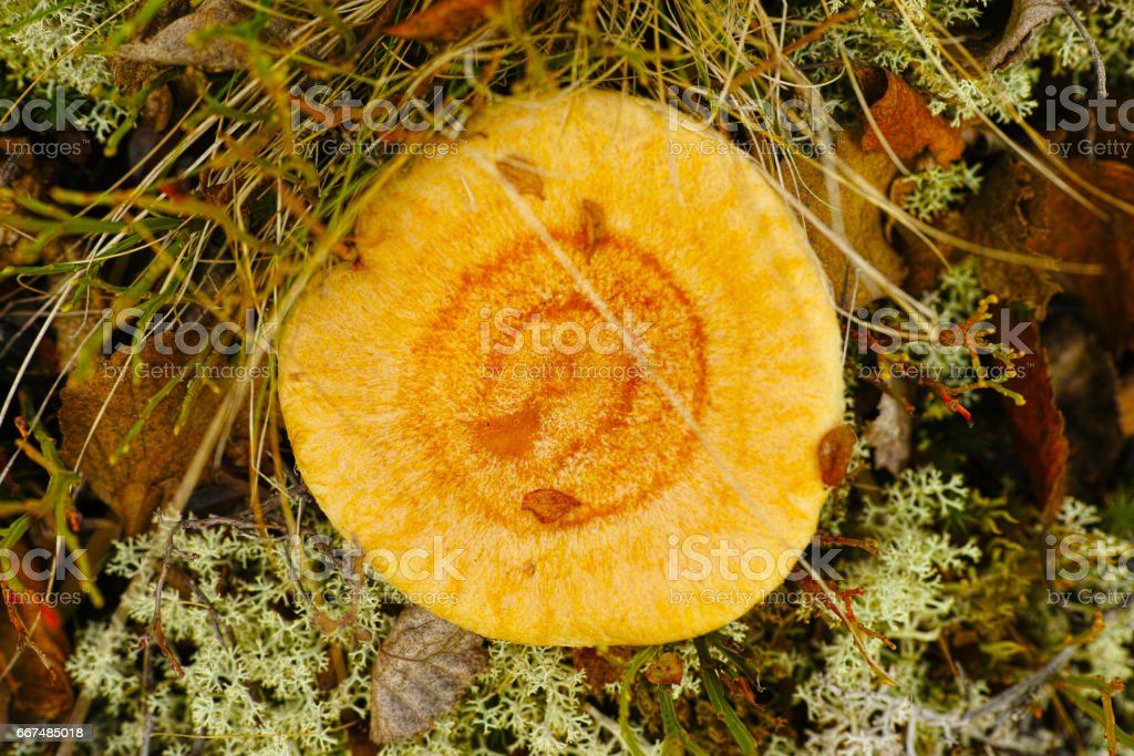 coral milky cap - Lactarius torminosus at taiga forest stock photo