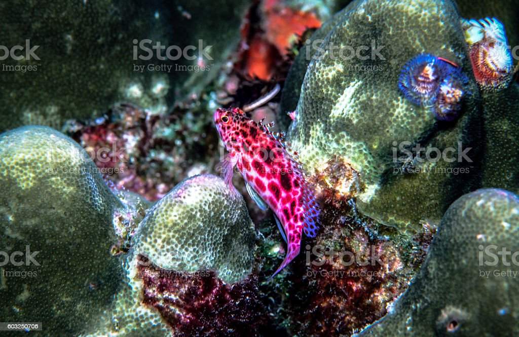 Coral or Pixy Hawkfish - Thailand (On pirch) royalty-free stock photo