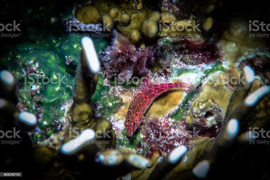 Coral or Pixy Hawkfish - Thailand (Profile) royalty-free stock photo