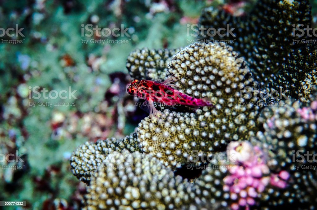 Coral or Pixy Hawkfish - Thailand (Overlook) royalty-free stock photo