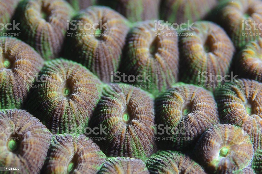 Coral Polyps royalty-free stock photo