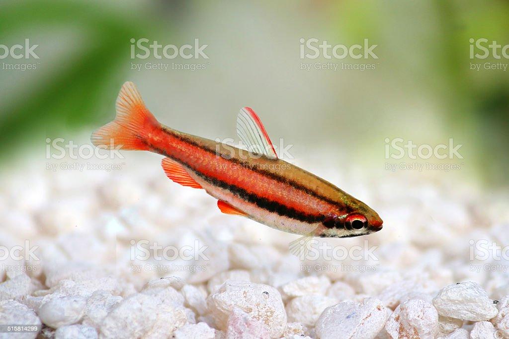 Coral Red Arc Pencilfish Nannostomus mortenthaleri Pencil fish stock photo